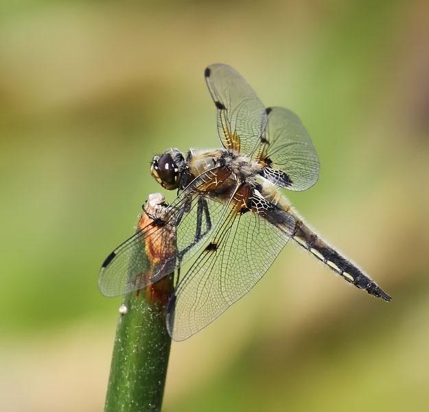 Vierfleck Libelle
