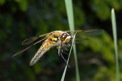 Vierfleck (Libellula quadrimaculata.)