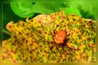 Vierfleckkreuzpinne auf verwelktem Pestwurzblatt