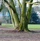 Vierlingsbaum