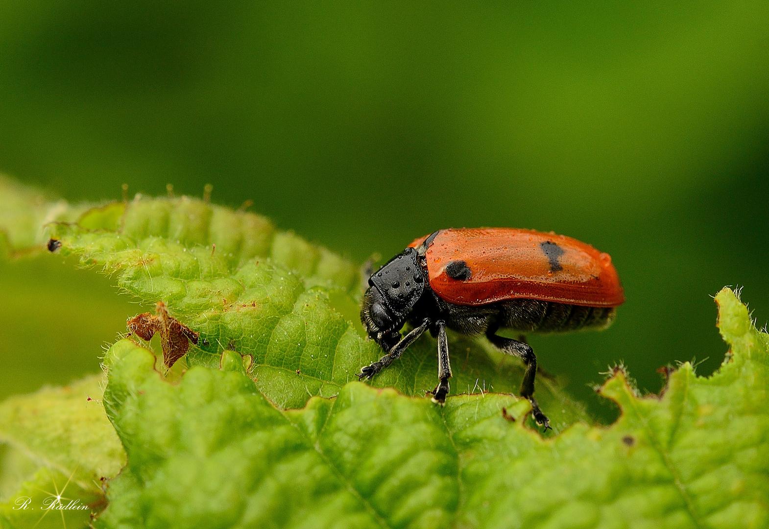 Vierpunkt-Ameisenblattkaefer