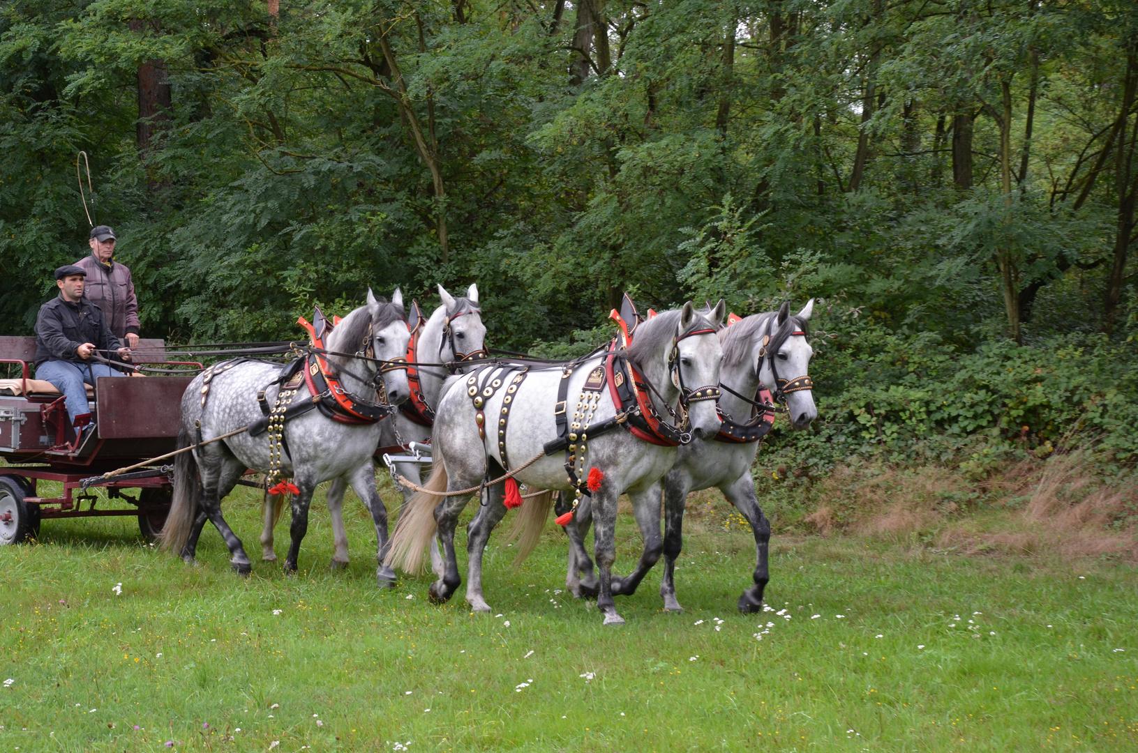 Vierspänner mit Arbeitsgeschirr Jäger Einhausen