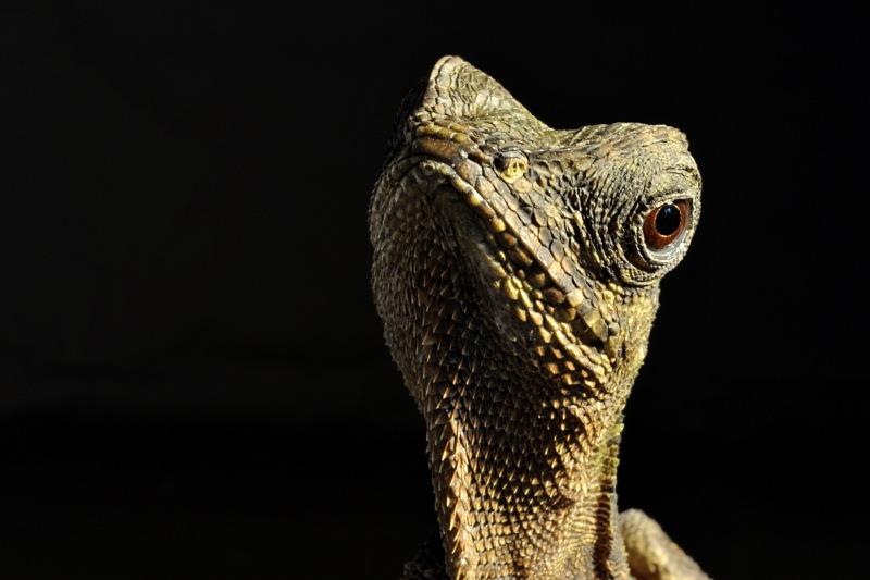vietnamesischer oder grüner Nackenstachler, Acanthosaura capra