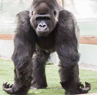 Vieux gorille
