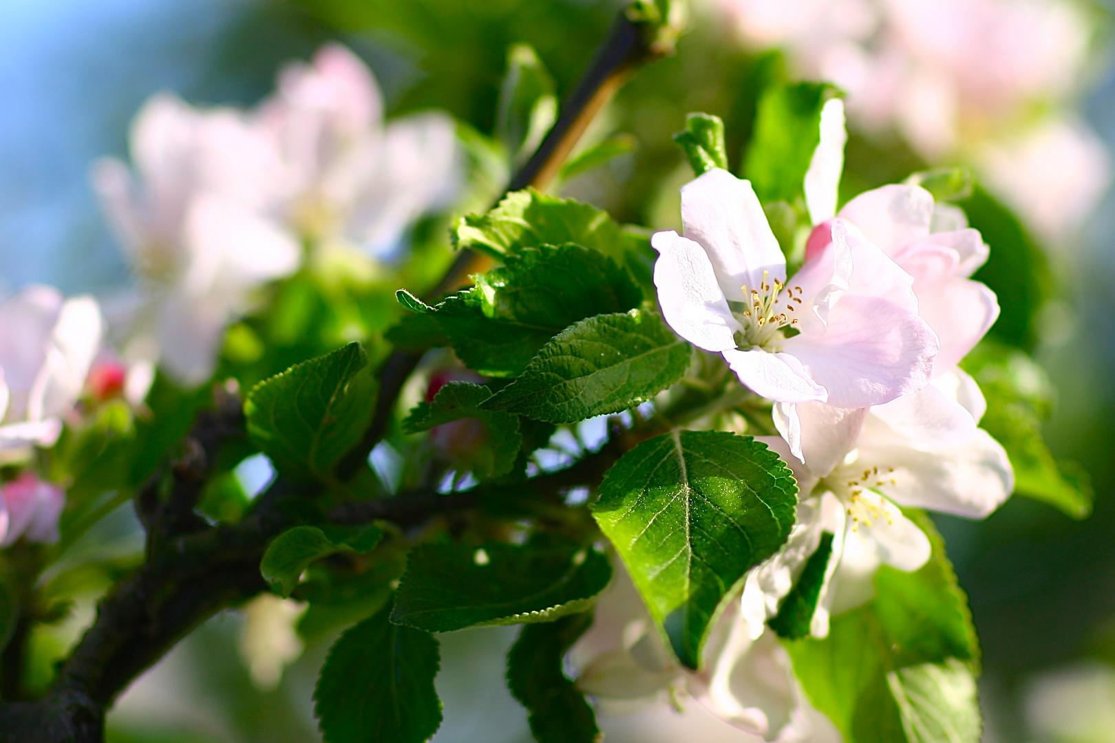 Viezbaumblüte