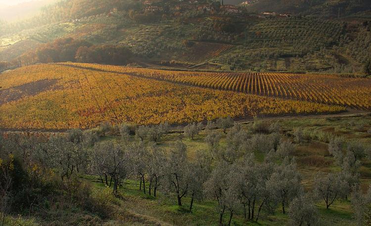 Vigne e ulivi a Carmignano (Prato)