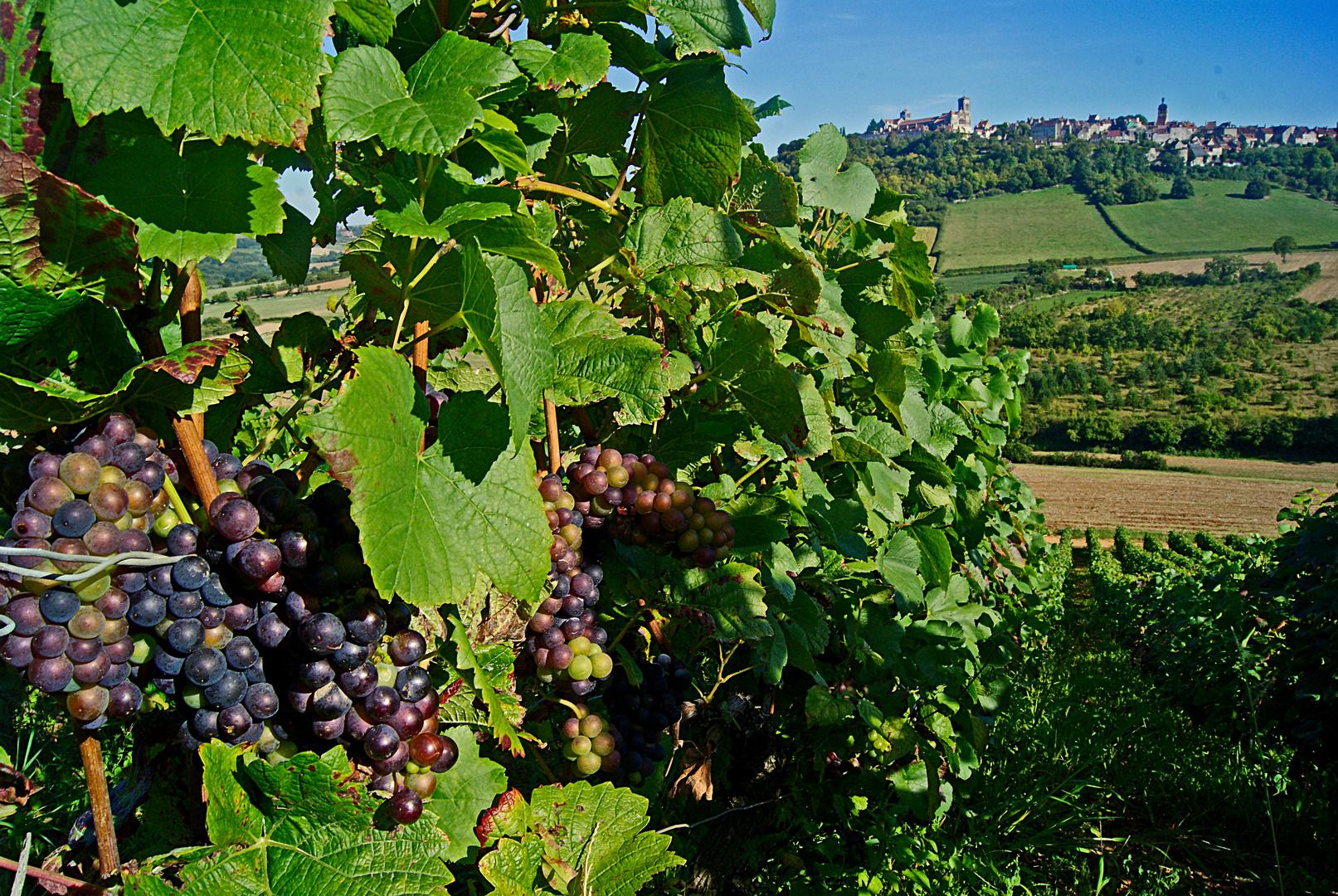 vigne et basilique, vezelay