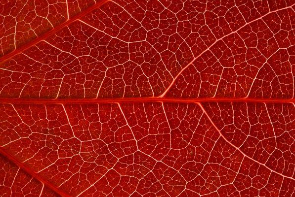Vigne vierge rouge sang