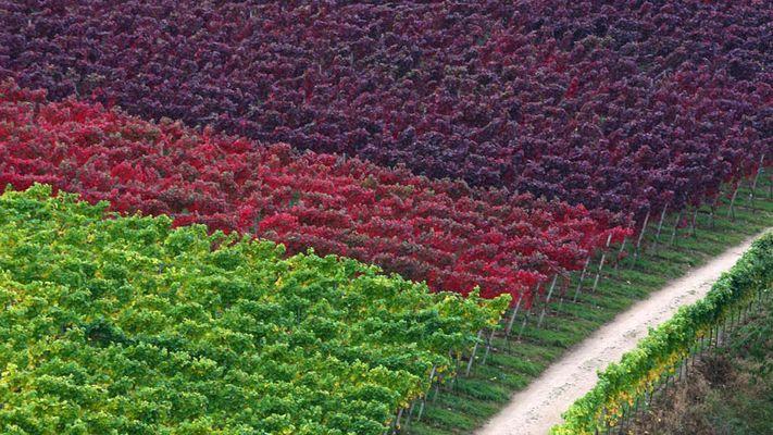 vignes d'automne