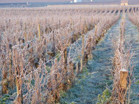 Vignes de Bourgogne en hiver