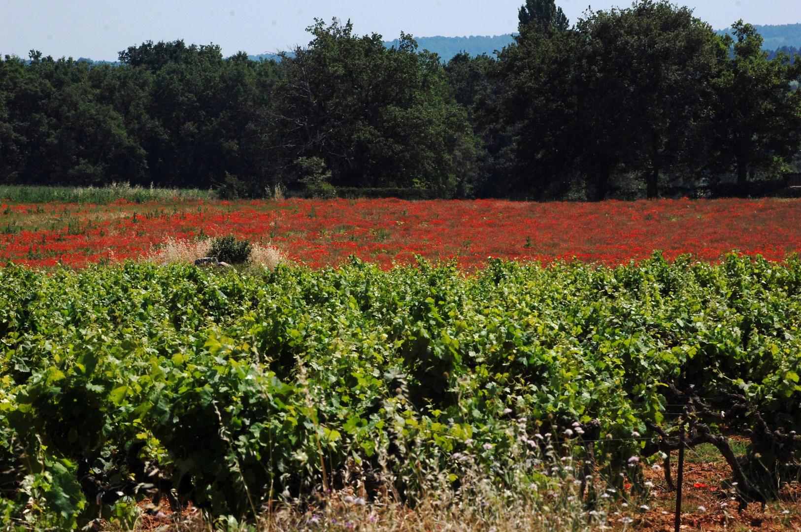 Vignes et champs de coquelicots