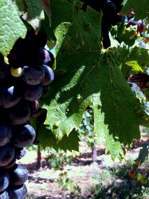 Vignes Puyloubier Provence