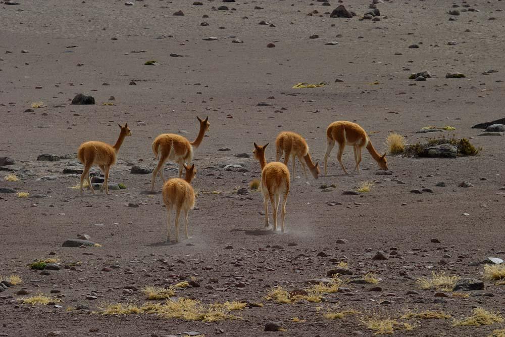 Vigognes dans la Cordillera de Ampato, Pérou