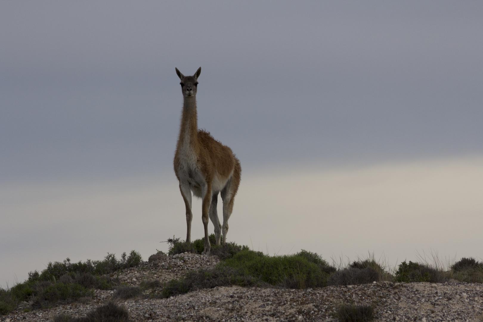 Vikunja im Abenlicht auf der Halbinsel Valdez/Argentinien