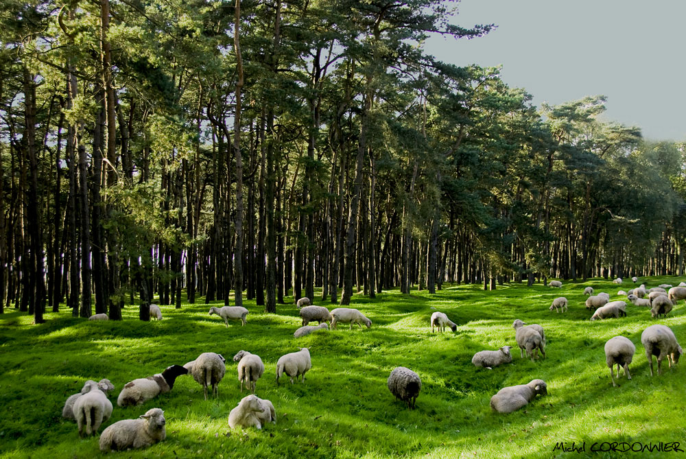 VIMY (1) Moutons Canadiens.