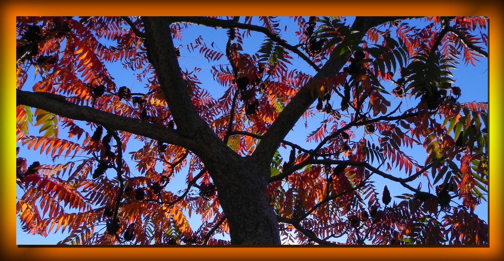Vinaigrier ou sumac en automne