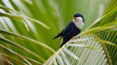 Vini Peruviana - Tahitian Blue Lorikeet