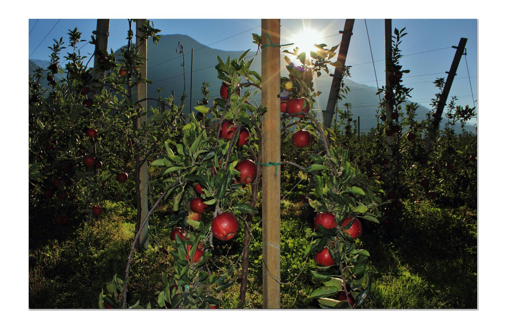 Vinschgau, Äpfel, Äpfel, Äpfel