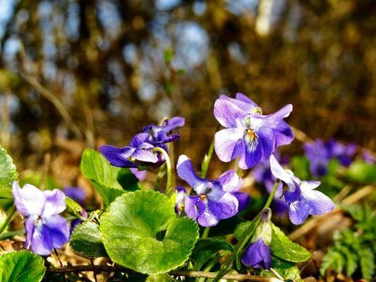 """Viola odorata, """"Wohlriechendes Veilchen"""""""