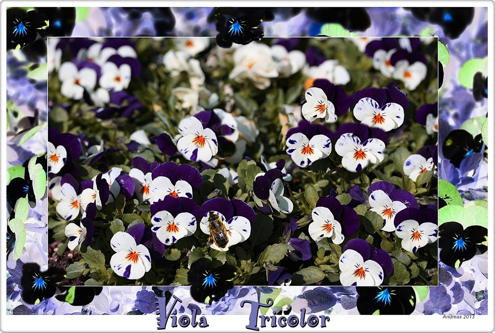 "Viola Tricolor ""Das Stiefmütterchen"""