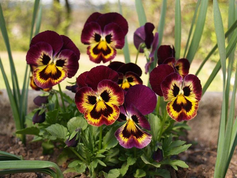 Viola x wittrockiana 1