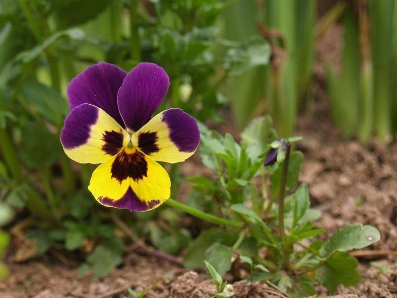 Viola x wittrockiana 2