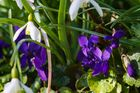 Violas im Schneeglöckchenwald