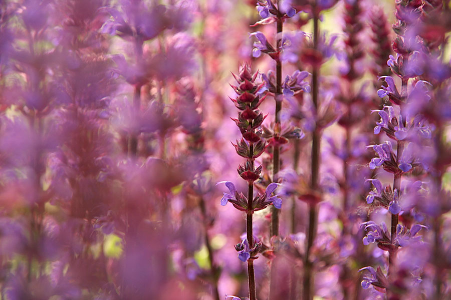 ---- violet ----