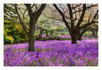 Violet carpet-2