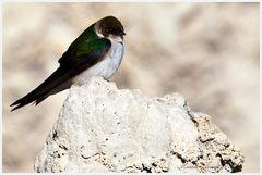 Violet-Green Swallow - Veilchenschwalbe