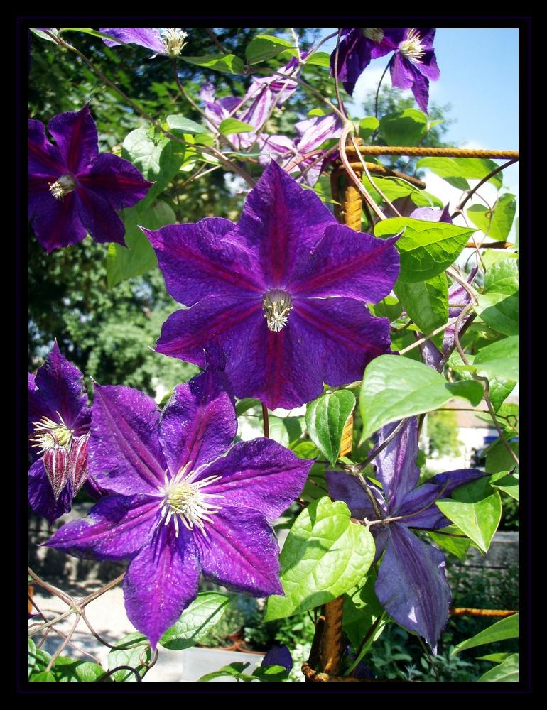 violet mauve