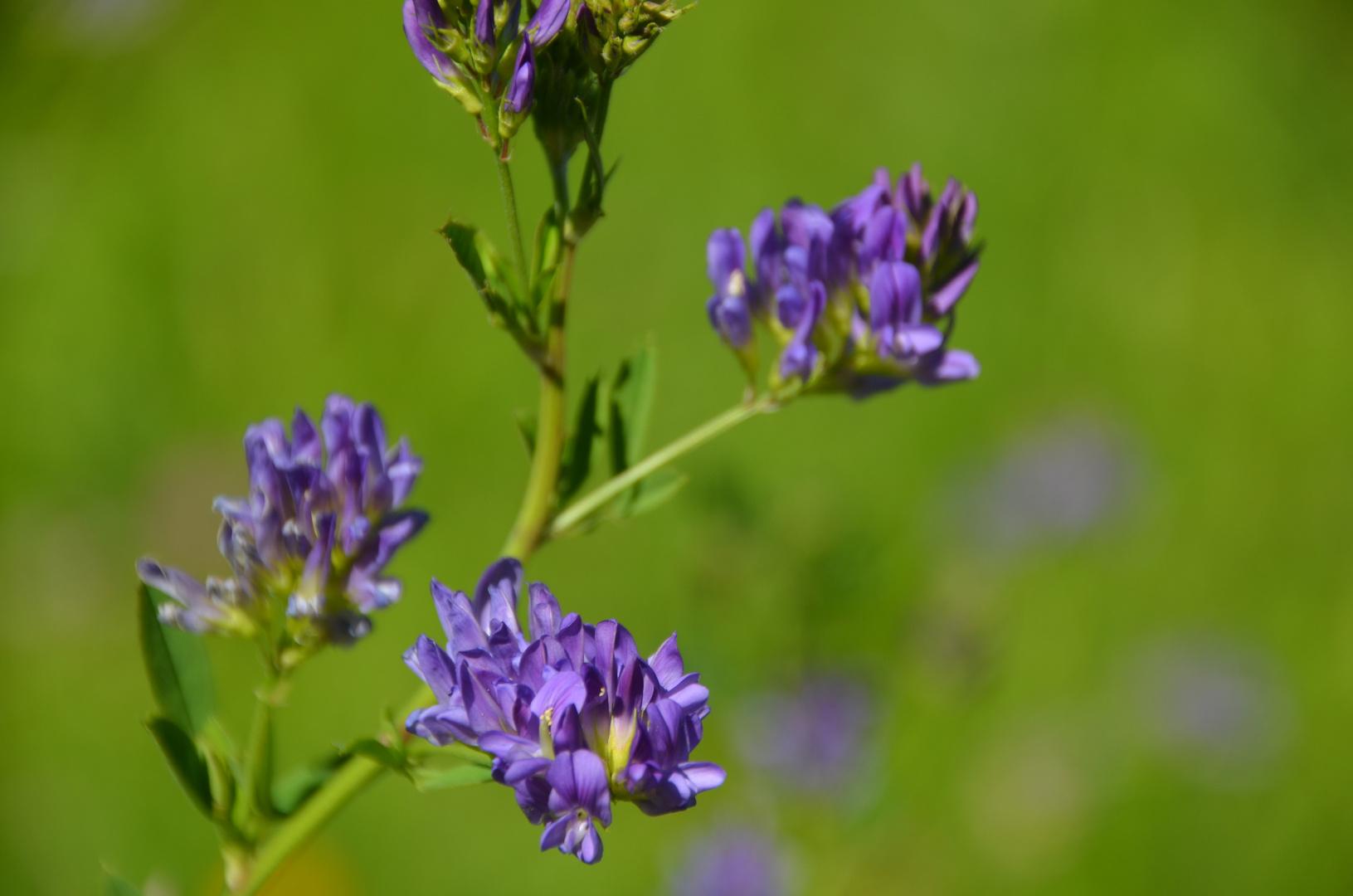 Violett auf Grün