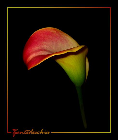 Violett-Cremefarbene Calla