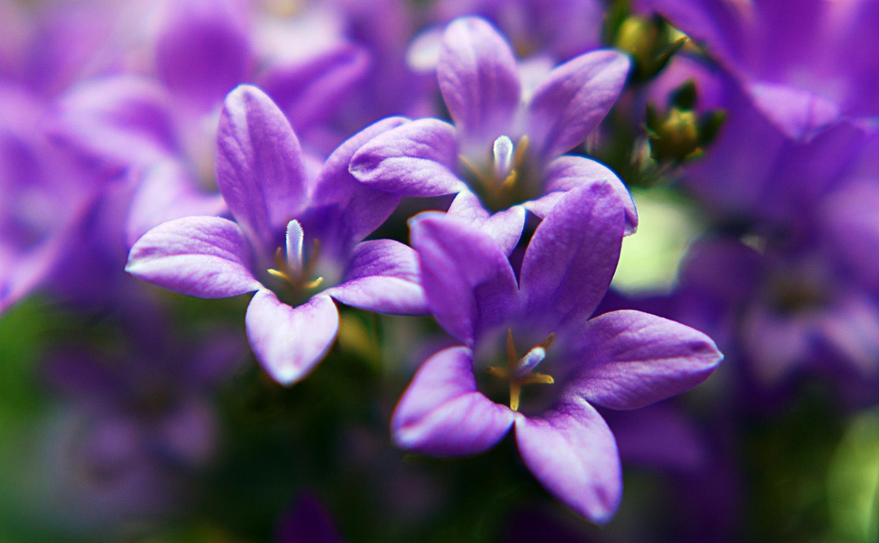 violett macro flower
