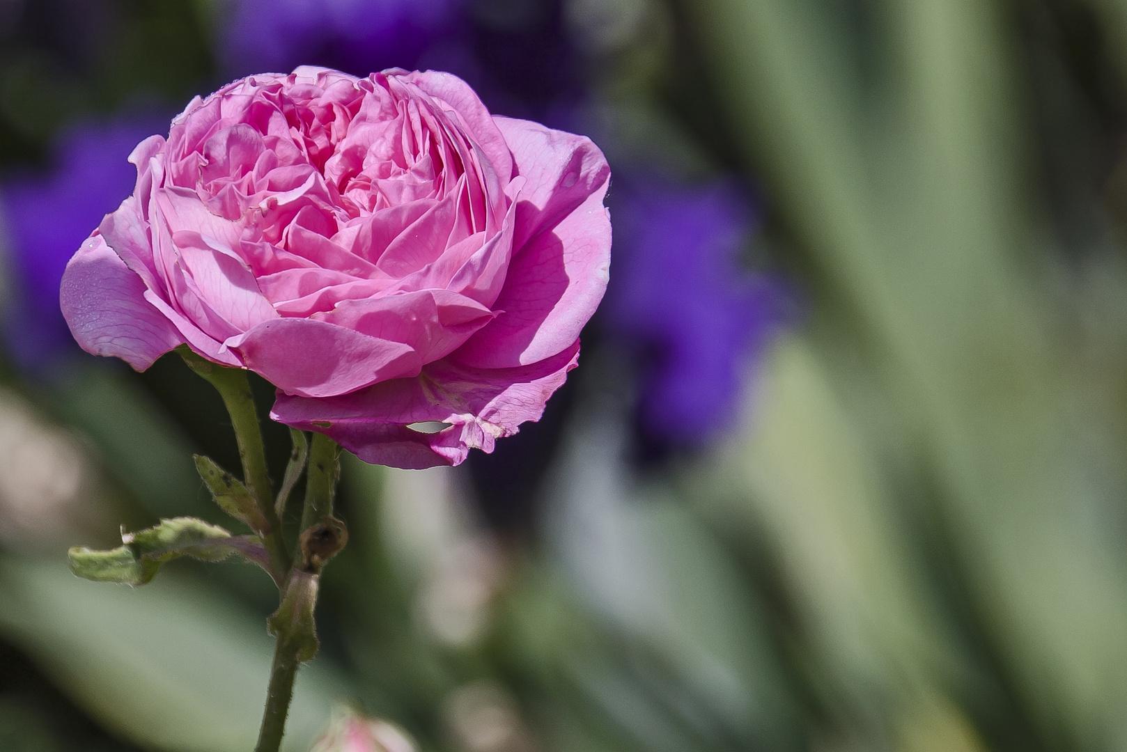 violett - rosé....