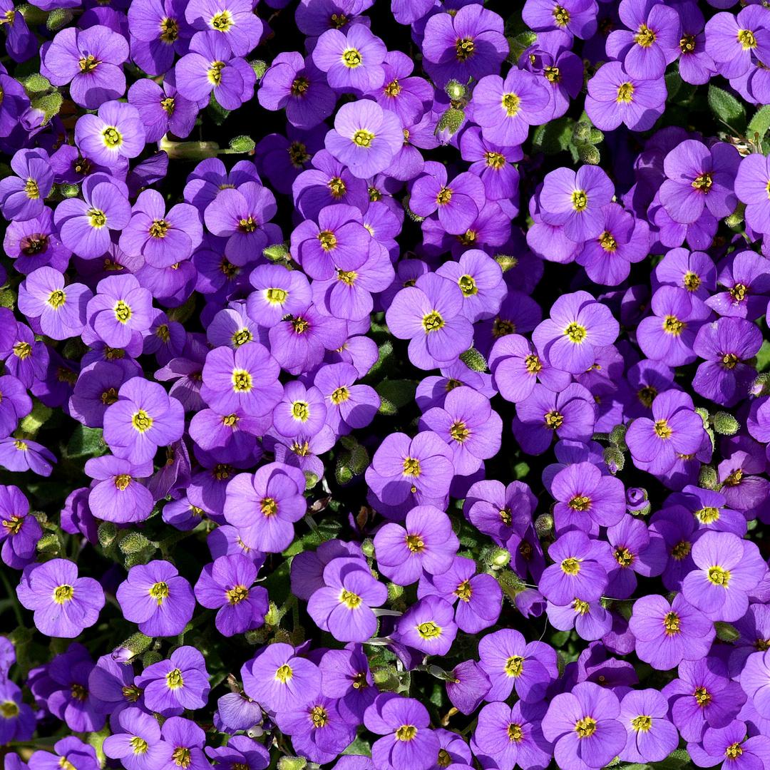 Violett: Salomonis Seide
