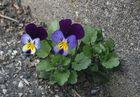 violetta di strada