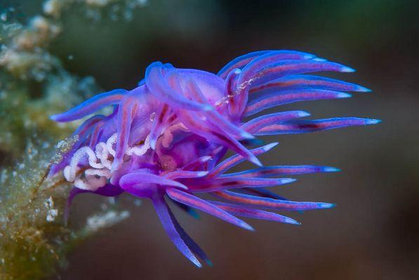 Violette Fadenschnecke mit Gelege