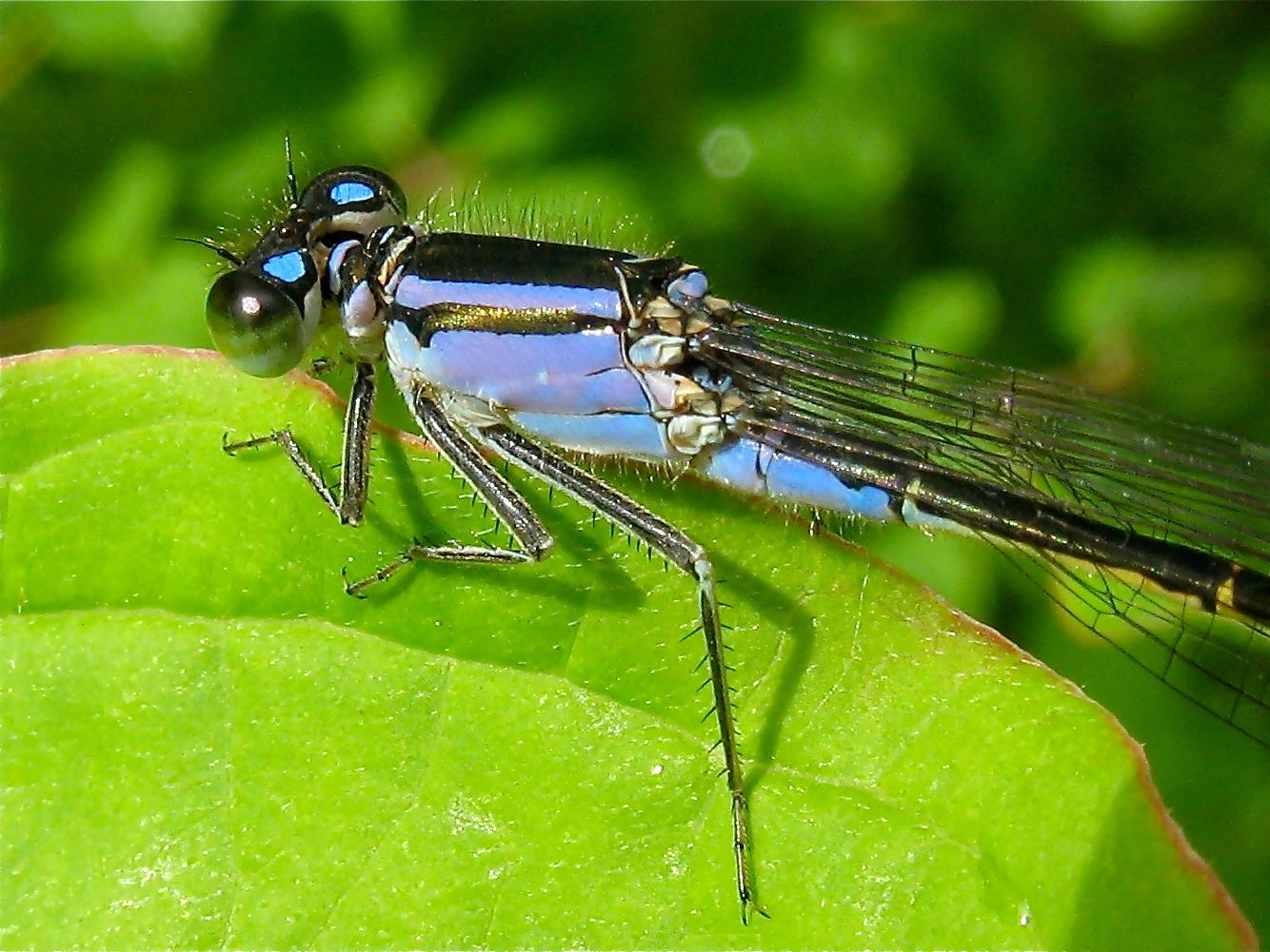 Violette Form des Weibchens der Großen Pechlibelle (Ischnura elegans) . . .