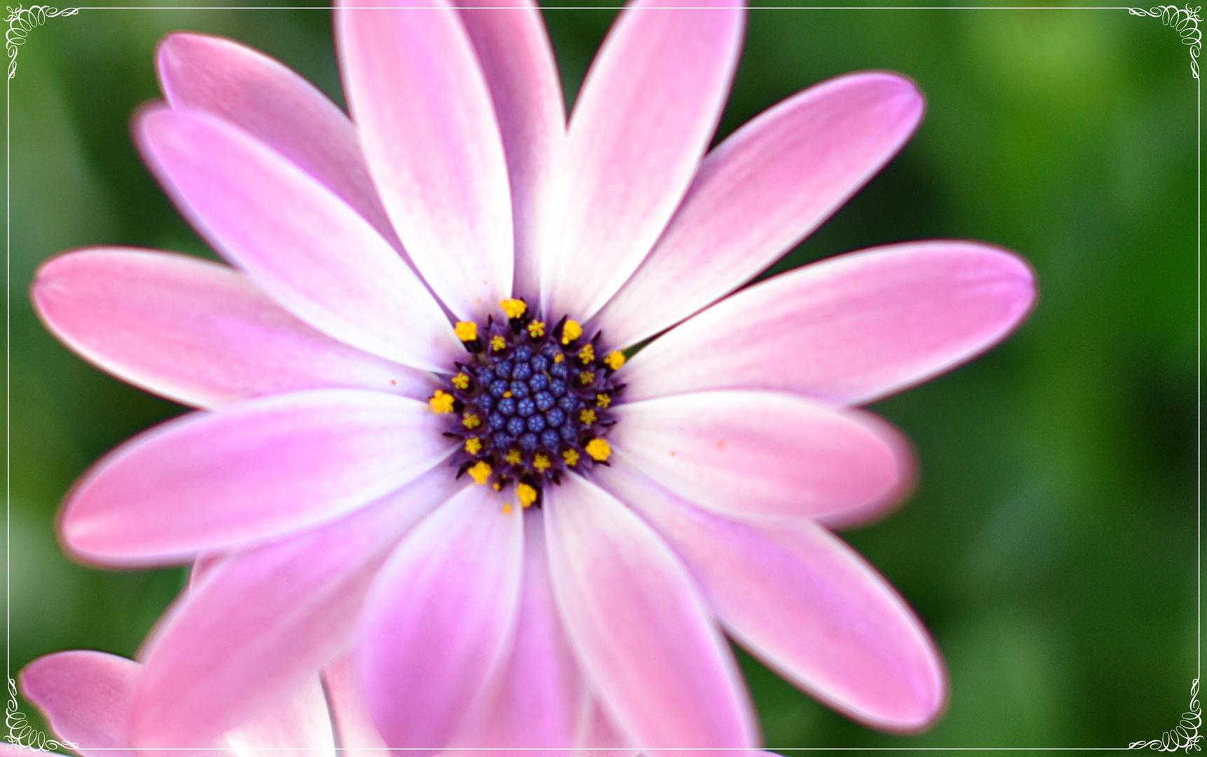 Violette Margarite