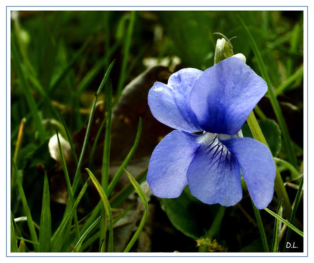 ...Violette Pudique...