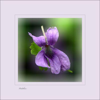 Violette - Veilchen