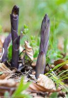 Violetter Dingel (Limodorum abortivum)