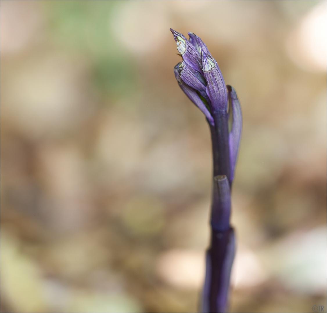 Violetter Dingel mit Schneckenschaden...