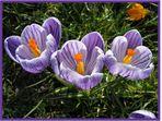 Violetter Krokus