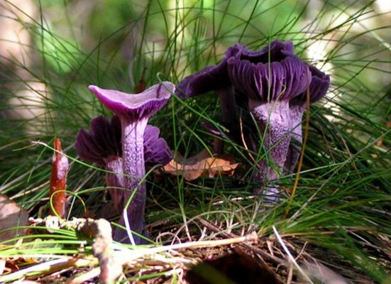 Violetter Lacktrichterling ( Laccaria amethystea )