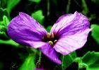 Violetter Rausch
