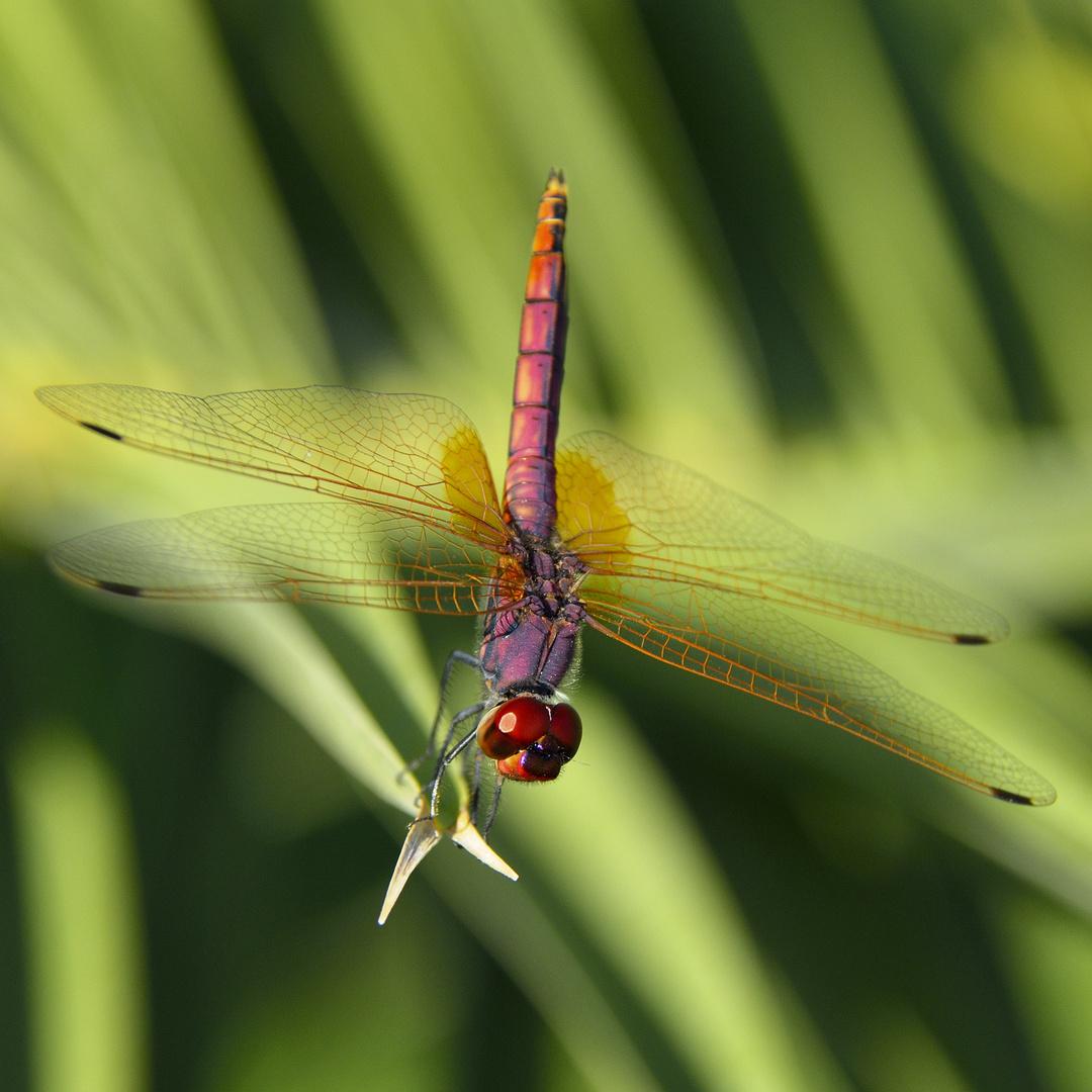 Violetter-Sonnenzeiger