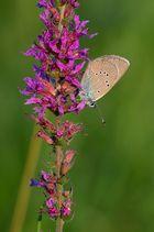 Violetter Waldbläuling