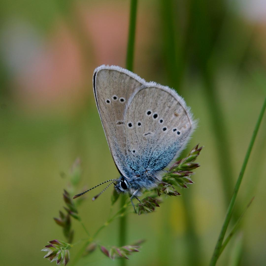 Violetter Waldblaeuling